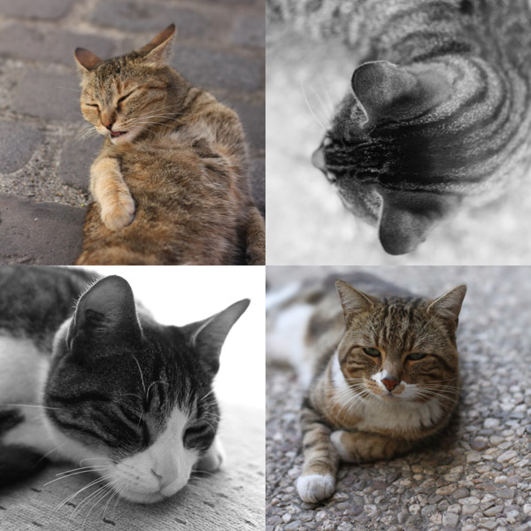 Quatre chats tigrés