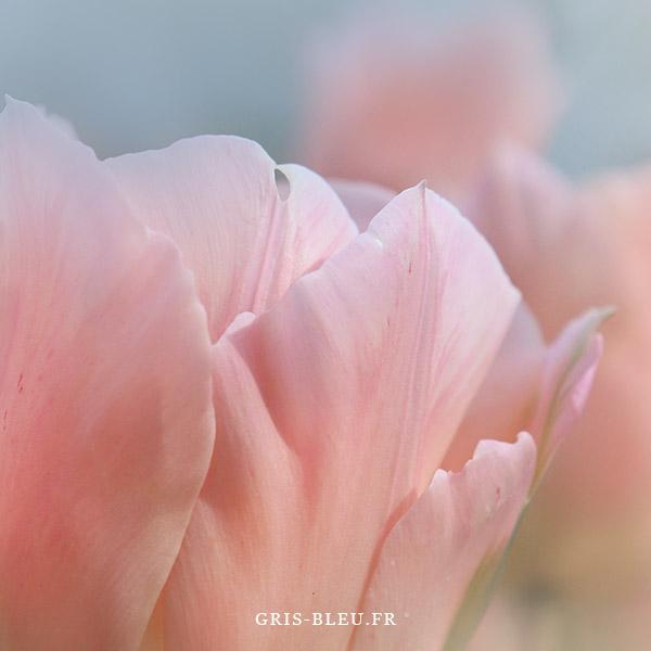 TulipesDetail